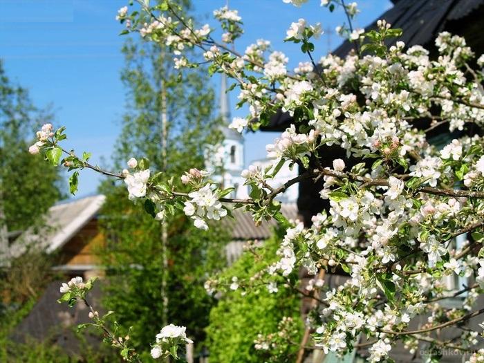 Цветение плодовых деревьев весной