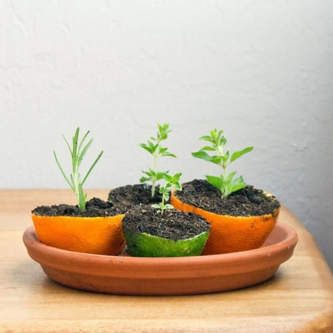 Выращивание рассады в кожуре от цитрусовых в дачный сезон