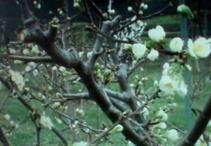 Обрезка в начале цветения так же возможна