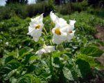 Цветущий картофель