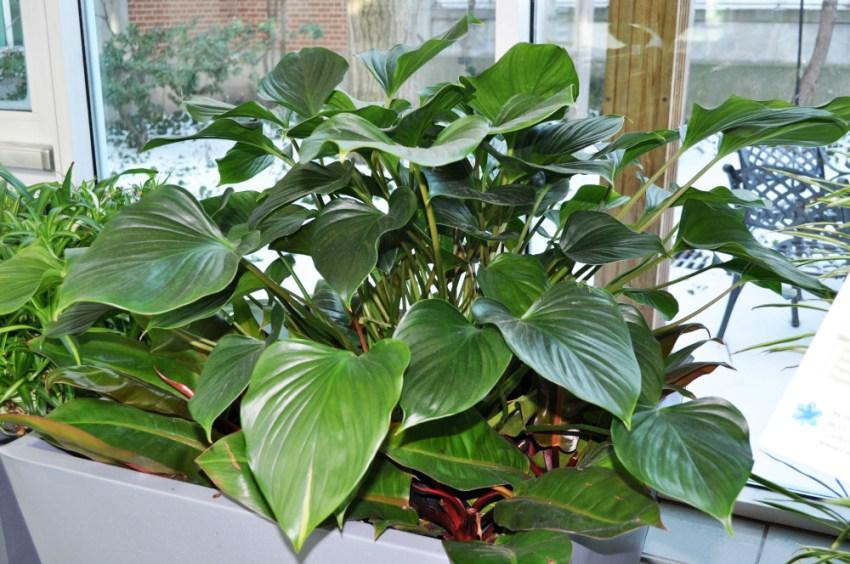 Филодендрон с мясистыми темно-зелеными листьями