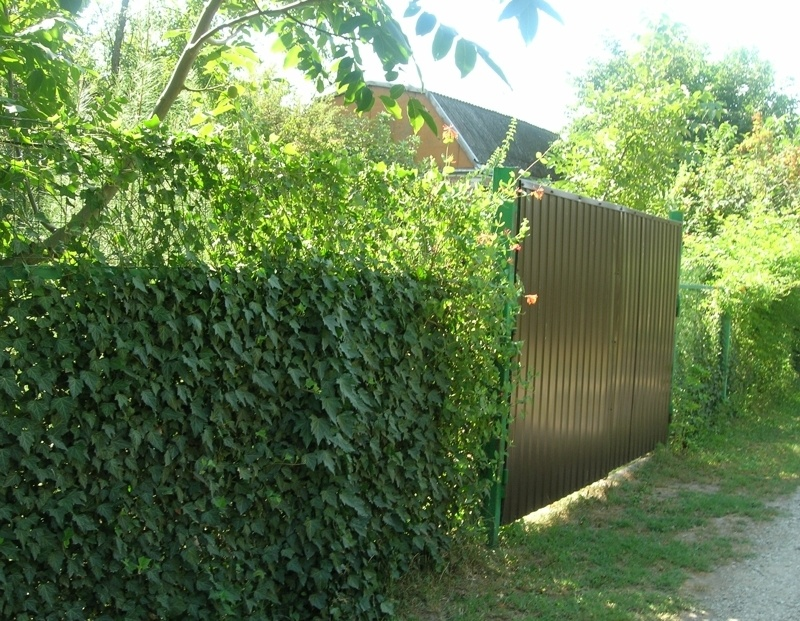 Декор забора на даче живой изгородью