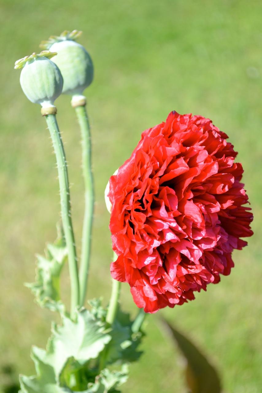 Цветущий опиумный мак