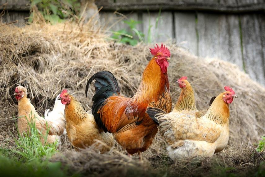 О чем следует знать при составлении рациона куриц