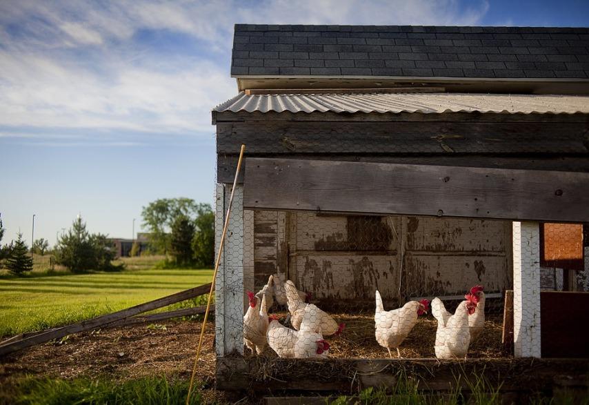 У кого правильнее приобретать цыплят кур