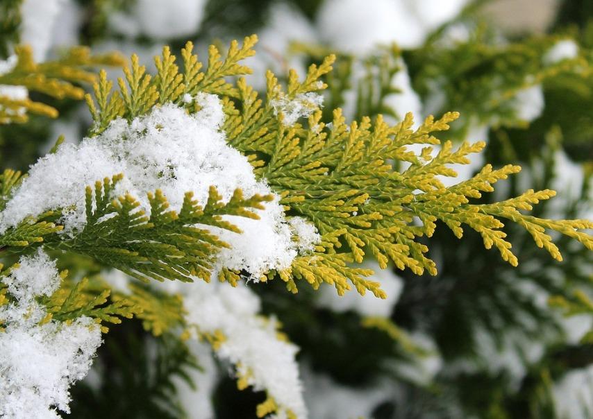 Готовим хвойные к зиме