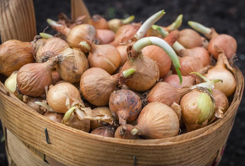 Особенности осенней посадки лука