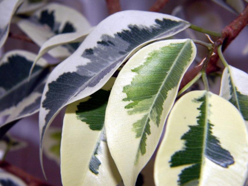 Различные виды фикусов для домашнего выращивания