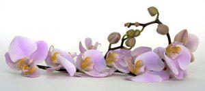 Причины, по которым могут не цвести орхидеи
