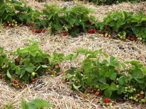 Применение мульчирования для устранения сорняков