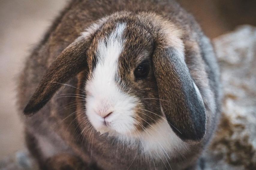 Насколько прсто разведение кроликов