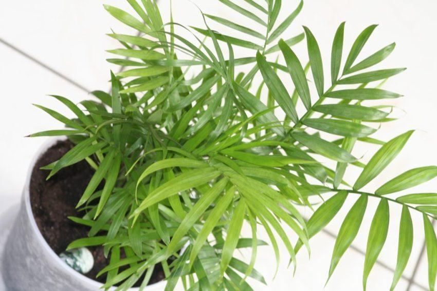 Виды бамбуковой пальмы