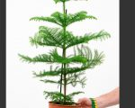 Разновидности хвойных деревьев, пригодных для выращивания дома