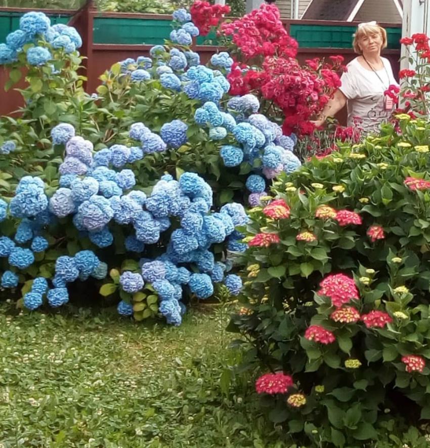 Гортензии голубая и розовая
