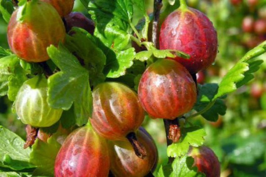 Крыжовник – северный виноград