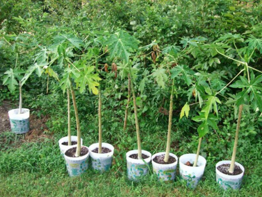Выращивание папайя