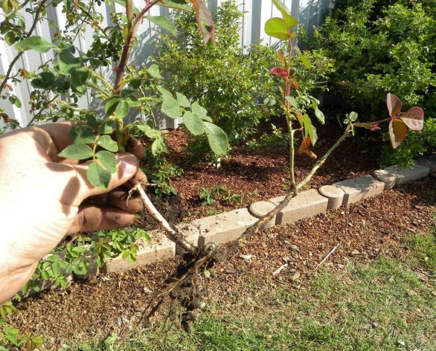 Аккуратное высаживание молодых растений розы