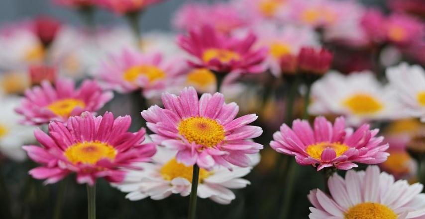 Разновидности расцветок маргариток