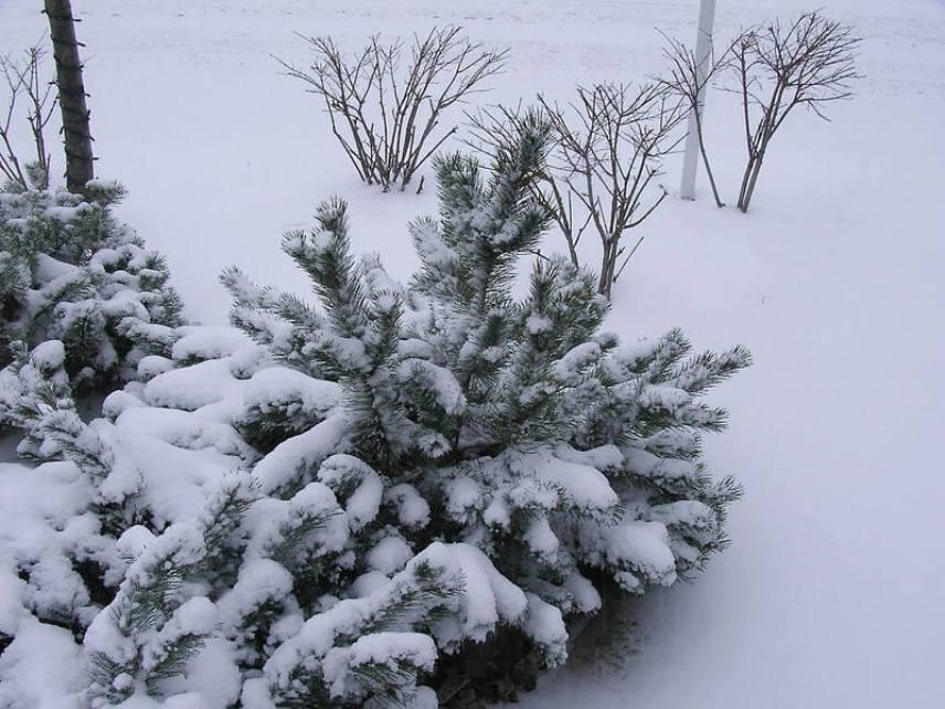 Снег для кустов и многолетников