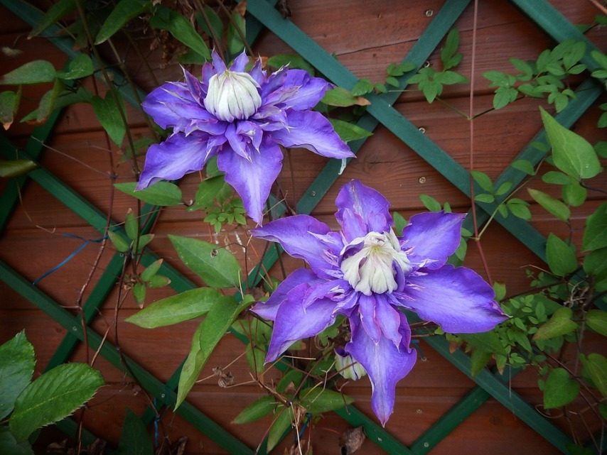 Растения на шпалерах