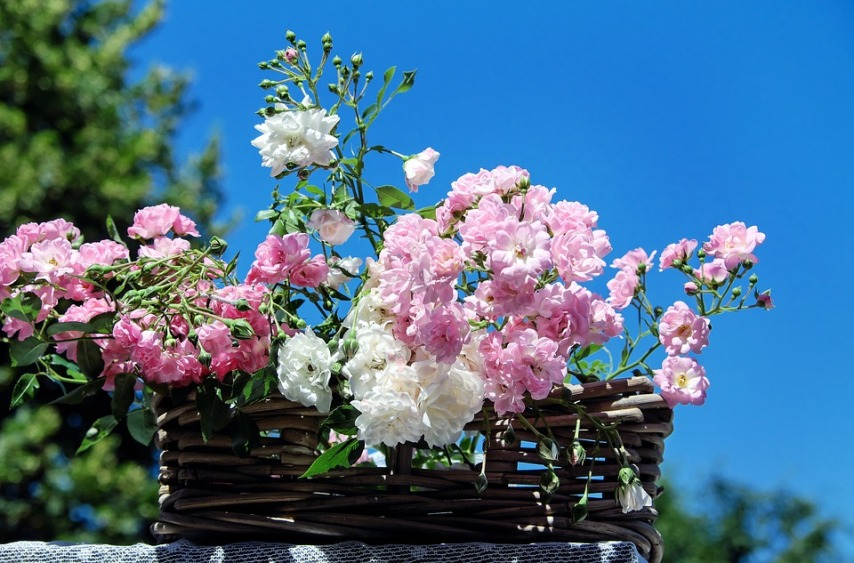 Выращивание молодых кустов плетистой розы с помощью черенкования