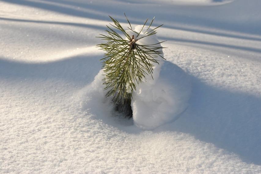 Снег на благо насаждений в вашем саду