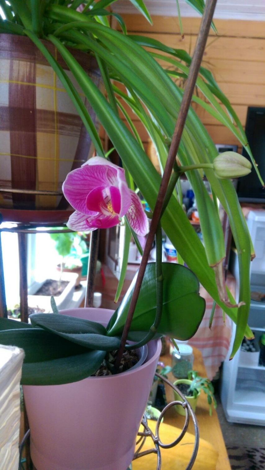 Моя вторая орхидея