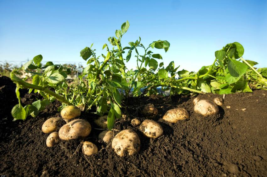 выращивание картофеля