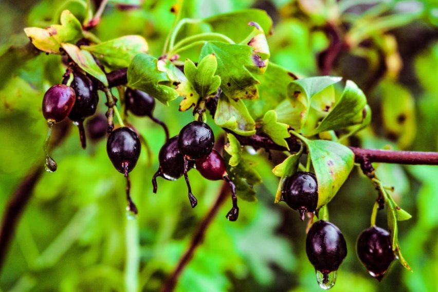 Золотистая смородина: Богатый урожай при минимуме работ