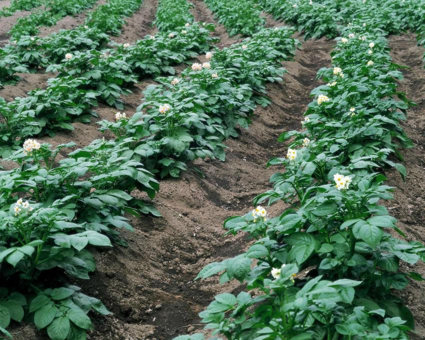 Картошка посадки