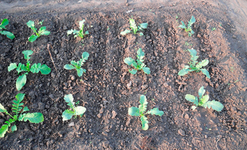 Редька всходы выращивание