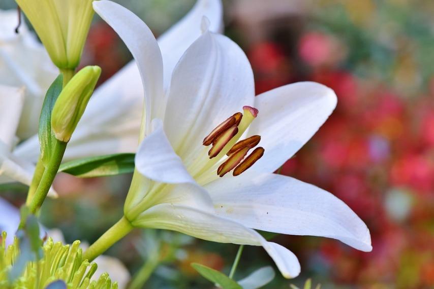 Разновидности лилий и особенности ухода за ними