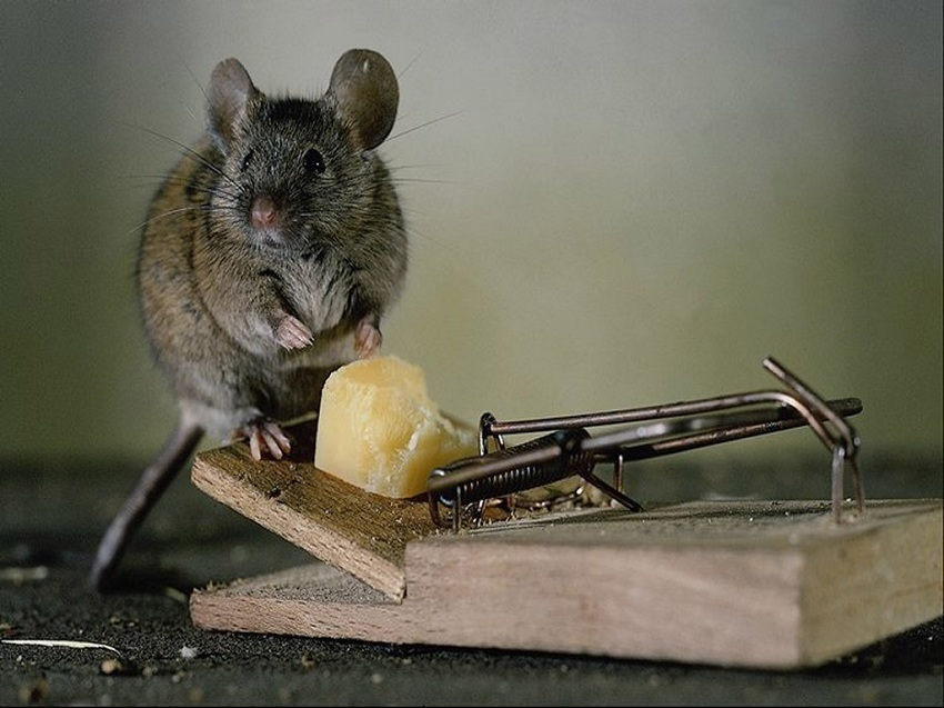 Мышь на мышеловке