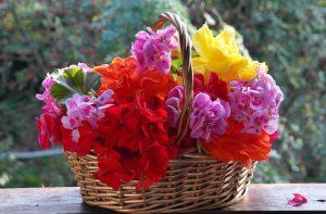 Цветущая петуния