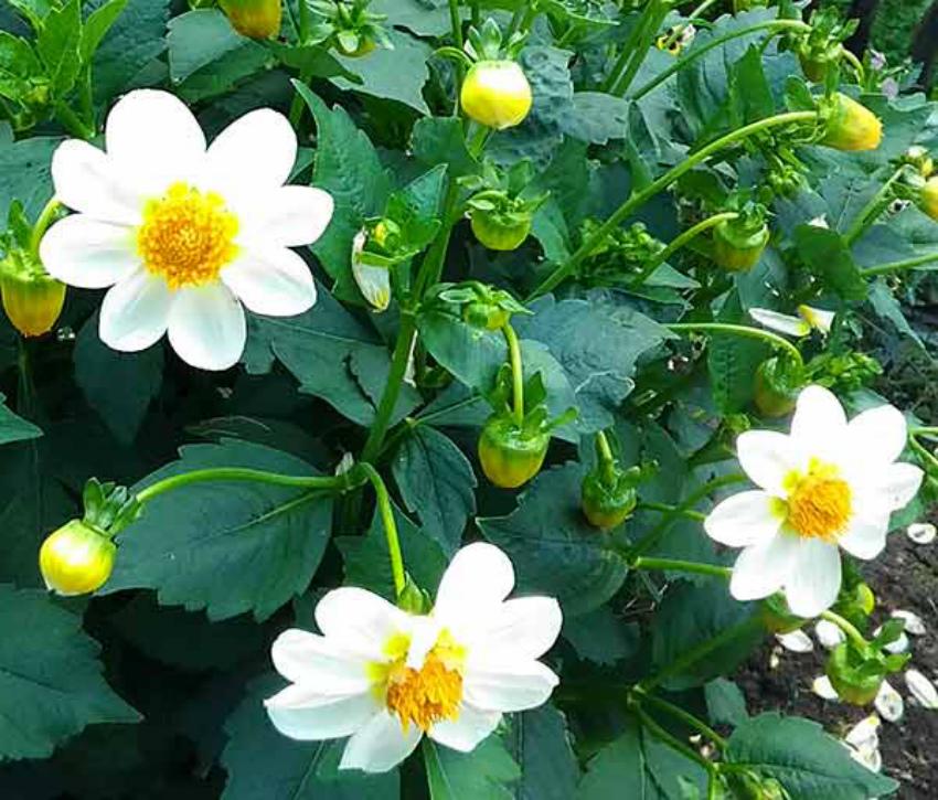 Однолетние георгины – яркие жизнелюбы в вашем саду
