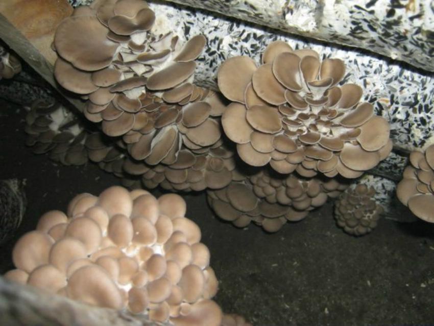 гриб вешенка мицелий