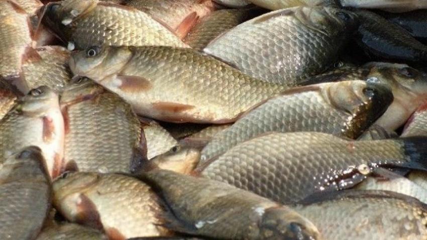 выращивание рыбы