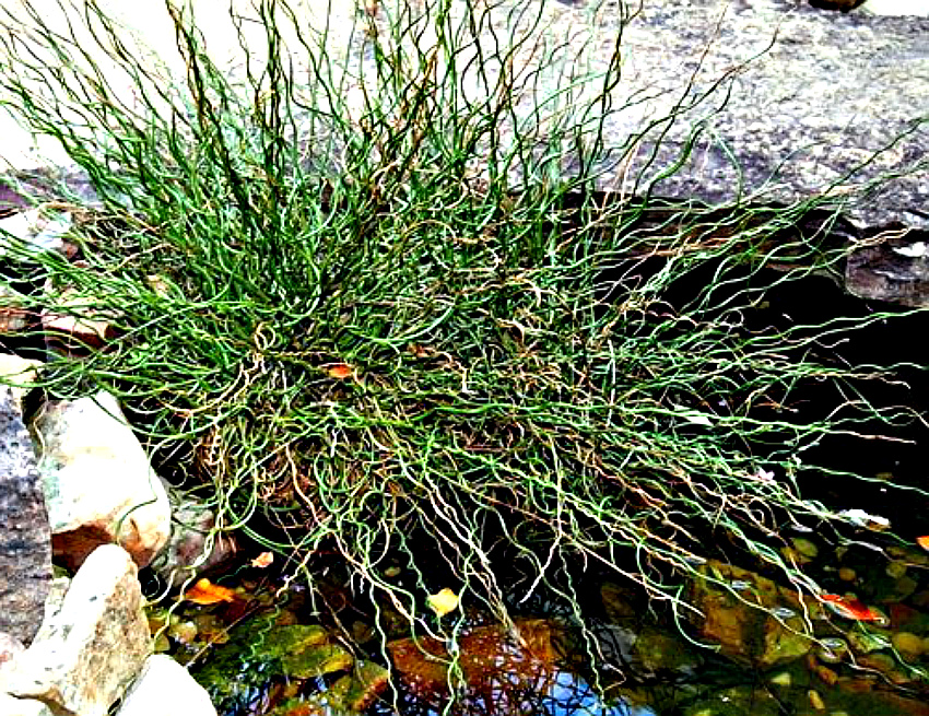 ситник, растение для пруда
