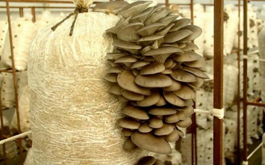 вешенка грибы