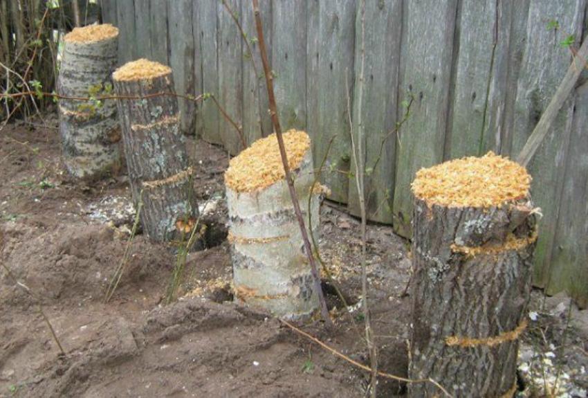 пеньки для гриба вешенка