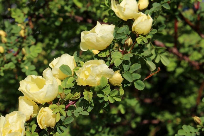Китайская роза на участке и на подоконнике