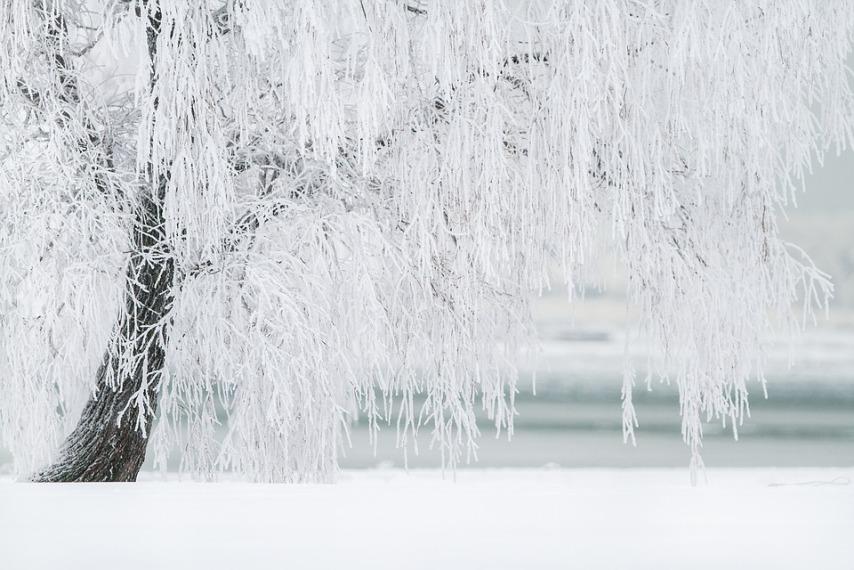 Ива зимой