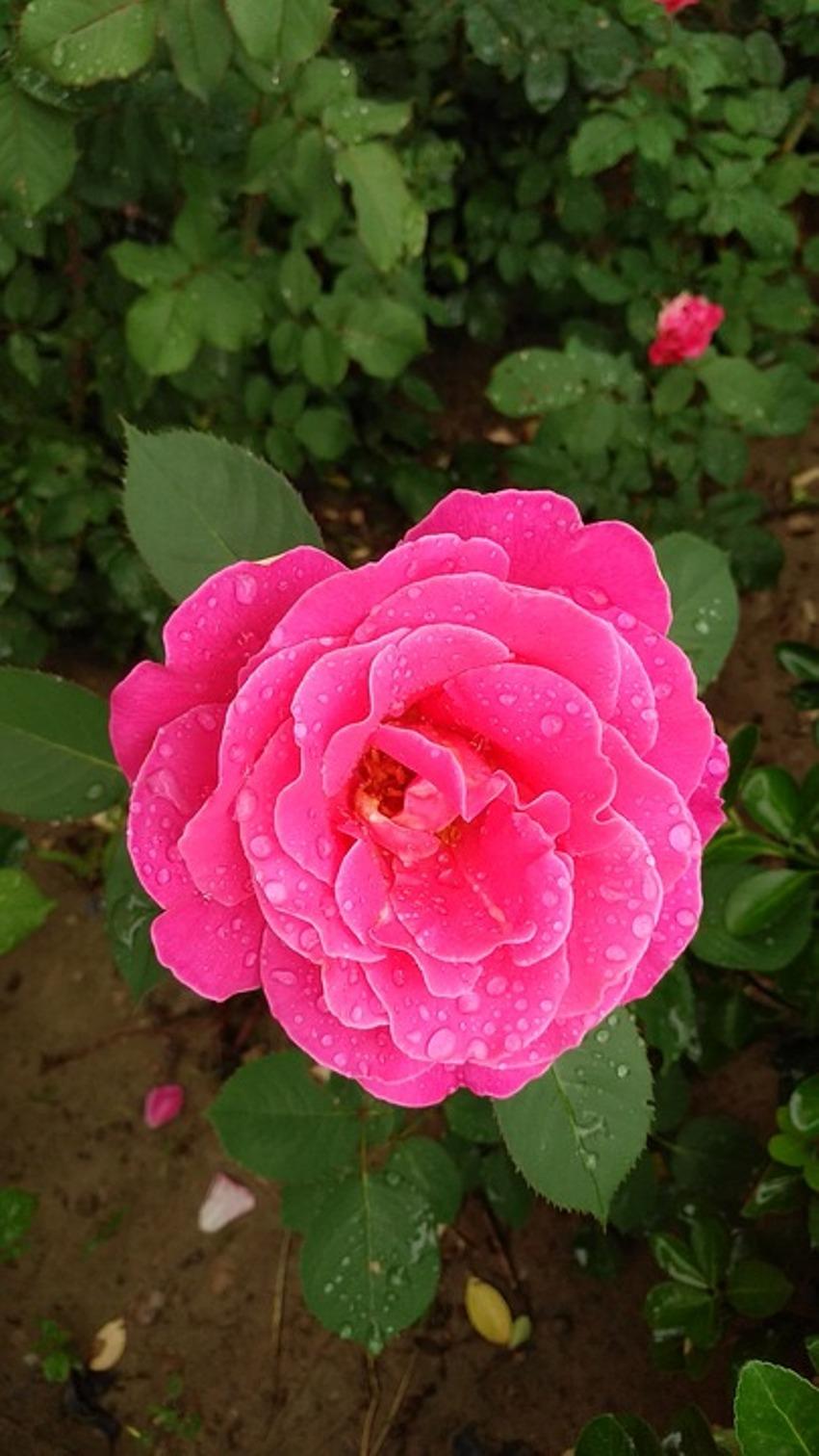 Яркие цветки китайской розы