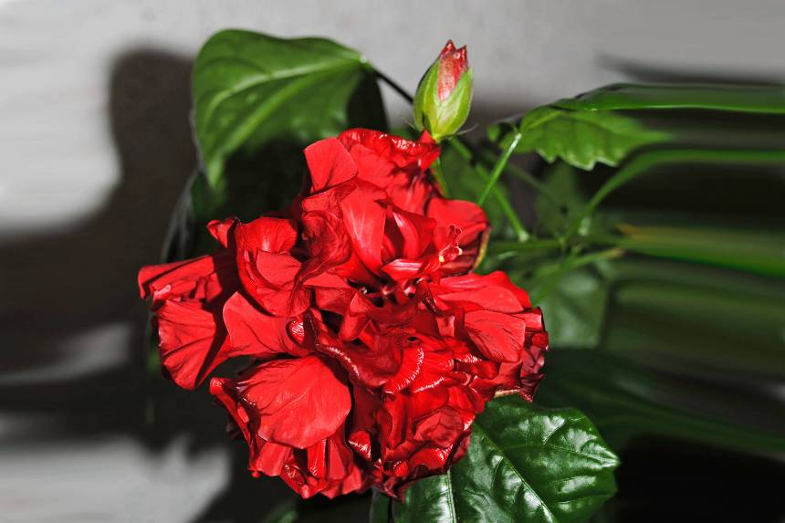 Здоровая китайская роза или гибискус
