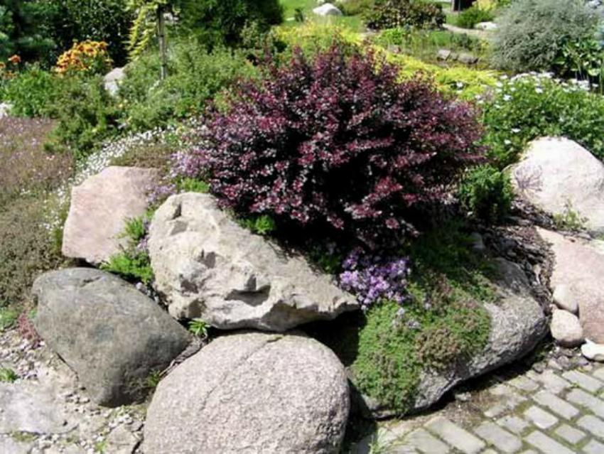 барбарис декоративный кустарник
