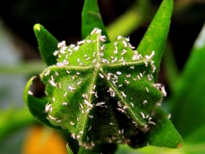 белокрылка растение