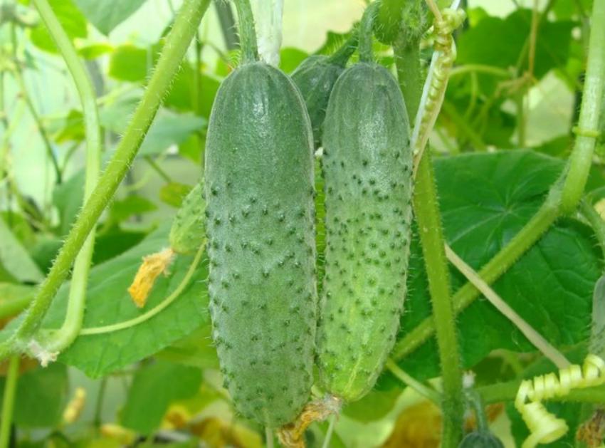 огурцы выращивание
