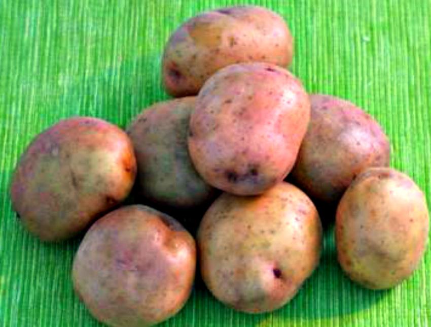 Картофель: два урожая с куста