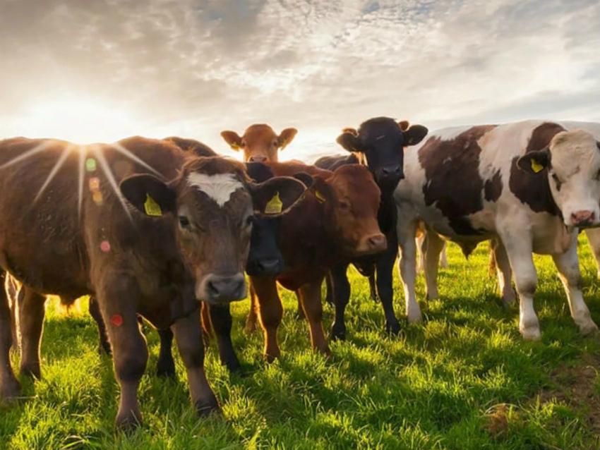 коровий навоз - ценное удобрение