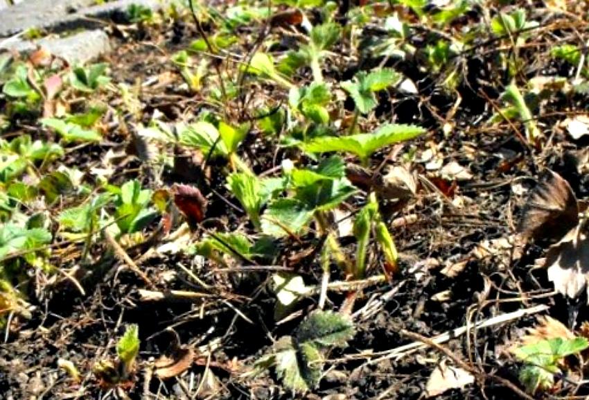весна клубника уход